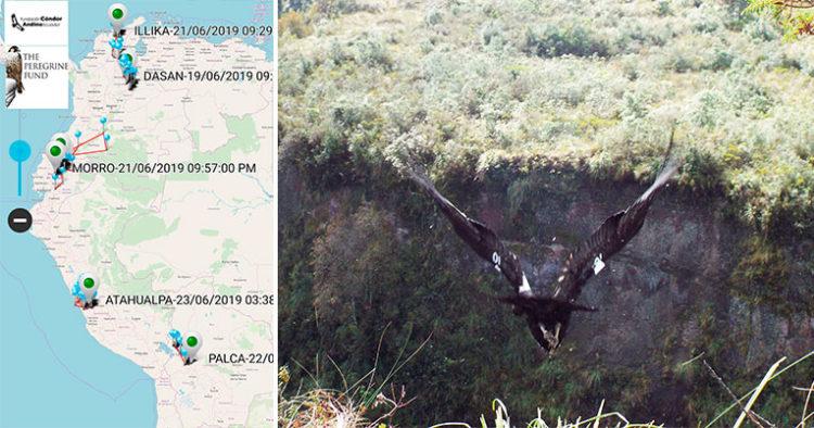 1.Rastreo Satelital de los cóndores marcados y monitoreados por el Peregrine Fund y la Fundación Cóndor Andino Ecuador 2. Chunka en liberación, abril 2015.