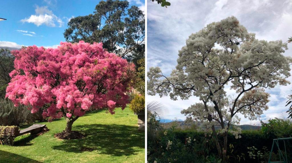 Tiempo de arupos: el verano quiteño se llena de rosa y blanco