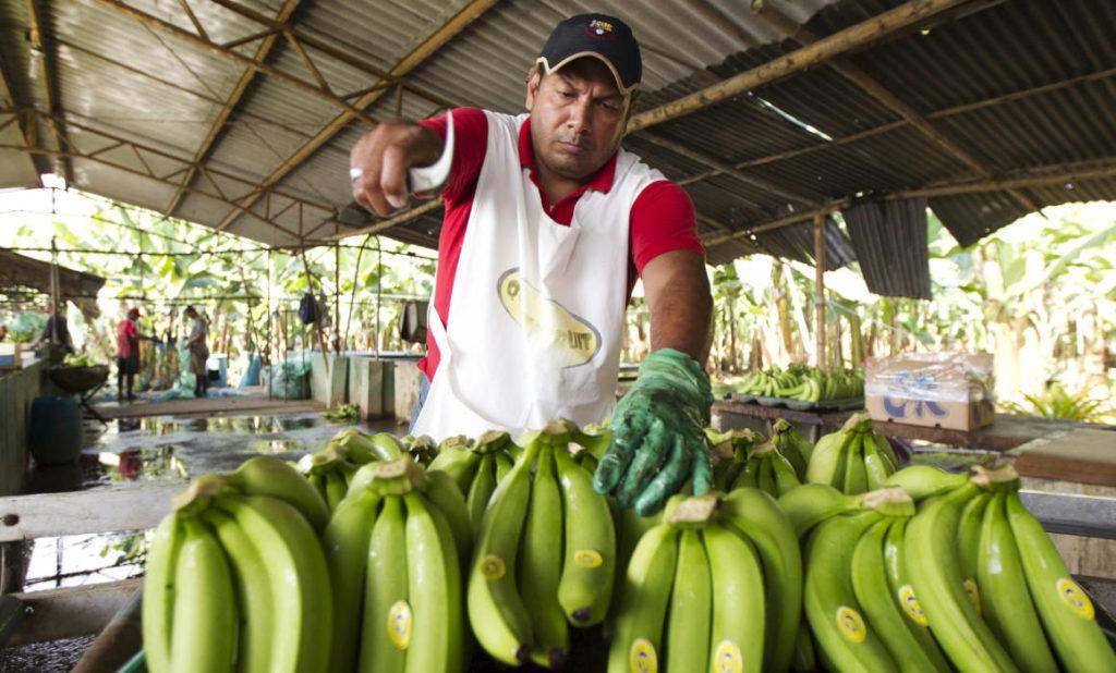 Ecuador activa prevención por avance de Fusarium R4T en Perú
