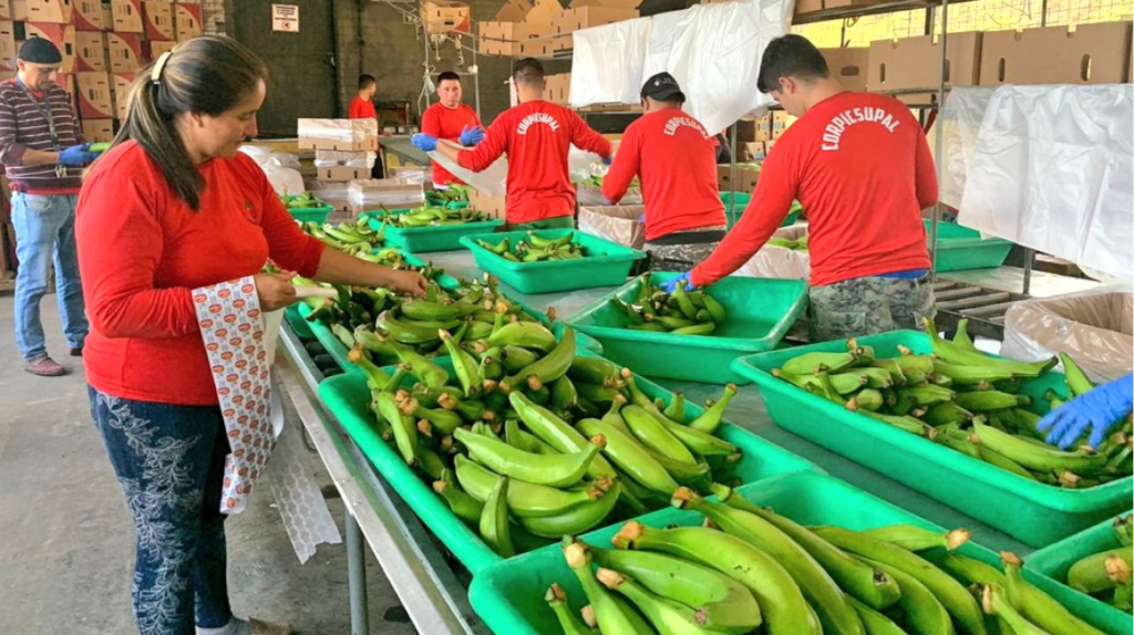 Letal hongo que ataca al banano, llegaría a Ecuador en un año y medio