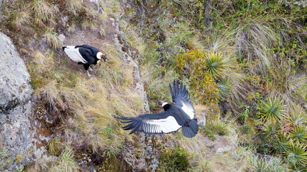 Estos son los cinco lugares de Pichincha para observar cóndores