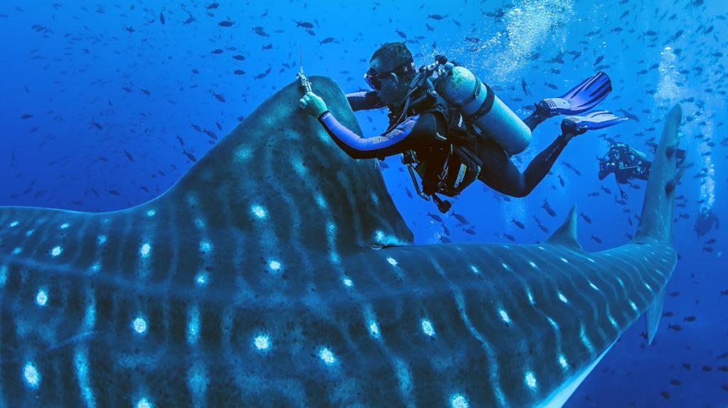 Proyecto científico busca conservar a tiburones ballena