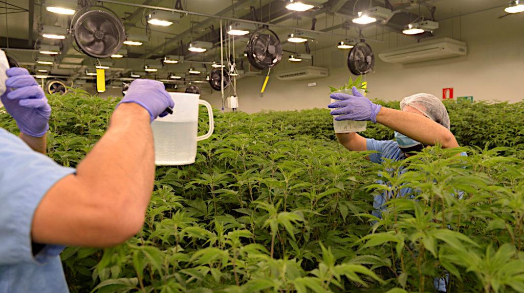 Expertos consideran que se subestima el riesgo del cannabis