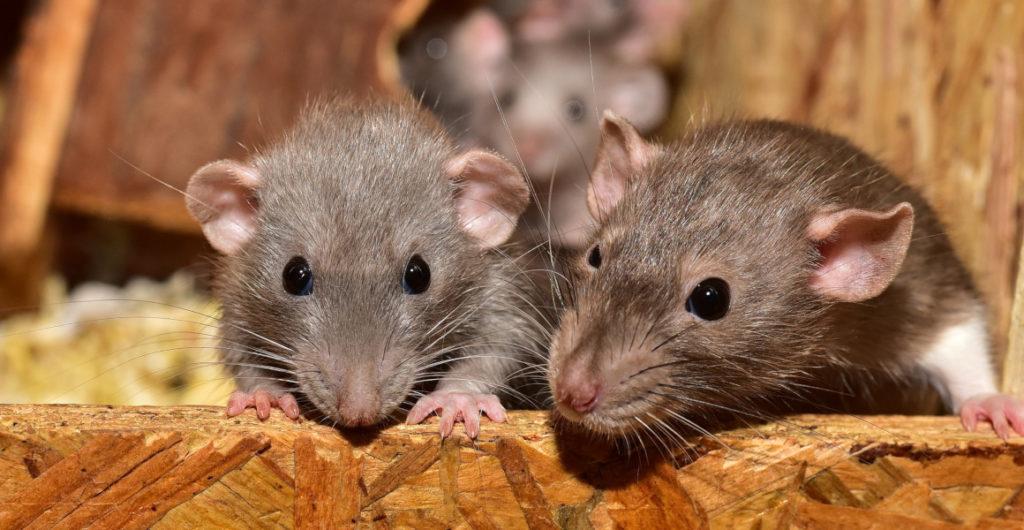 Maltrato materno causa daño cerebral en ratas y muestra secuelas en niños