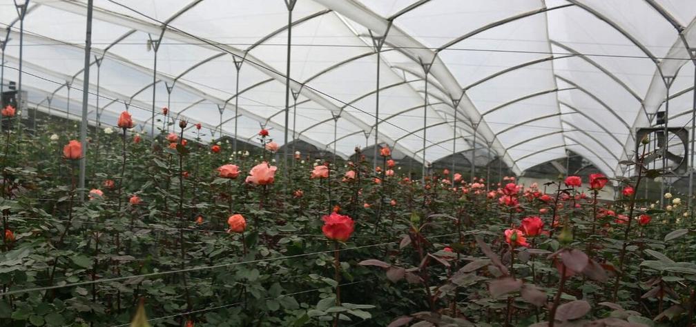 El sector florícola se declara en emergencia por agresiones en sus fincas