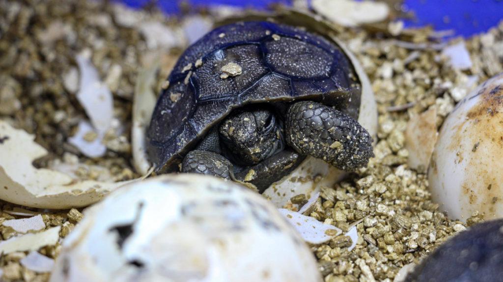 20 tortugas gigantes nacen en cautiverio en Galápagos