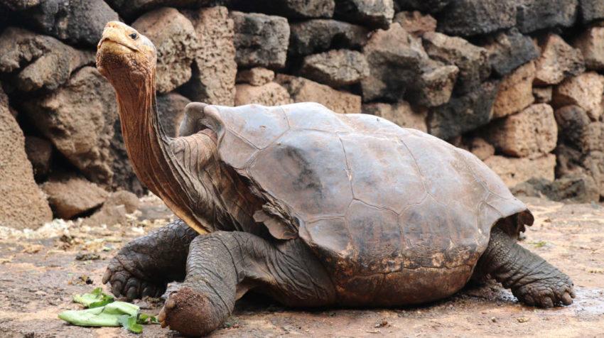 Fotografía del 9 de enero de 2020, cedida por el Parque Nacional Galápagos, que muestra a Diego, la tortuga gigante de la isla Española.