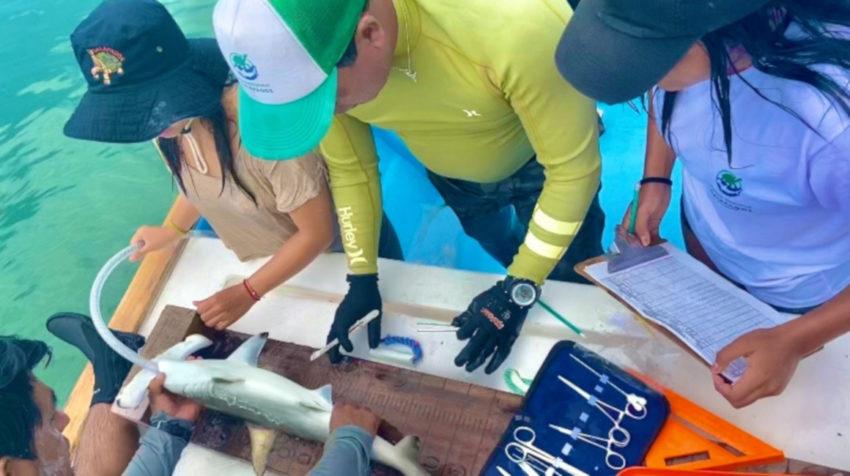 Momento en el que el tiburón martillo es marcado por personal del Parque Nacional de Galápagos, el 10 de marzo de 2020.