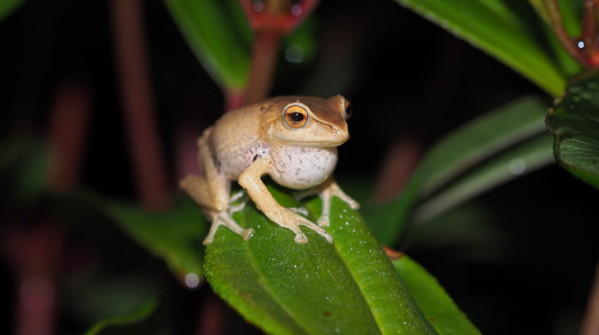 Pristimantis atratus es una de las especies encontradas en el Abra de Zamora