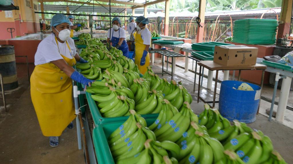 Exportaciones de banano caen 4,57% por lenta recuperación económica