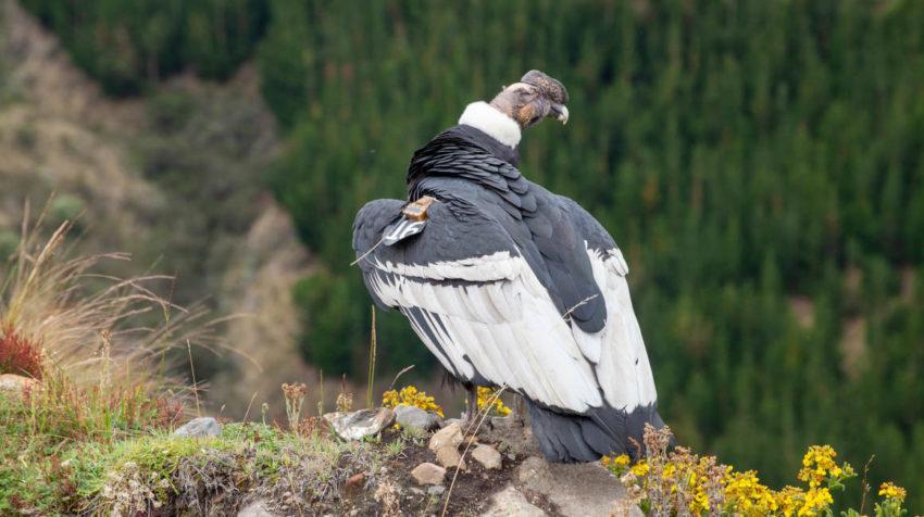 Iguiñaro, un espécimen de cóndor andino, fue liberado la mañana del 30 de mayo luego de un mes de recuperación tras haber sido herido con perdigones.