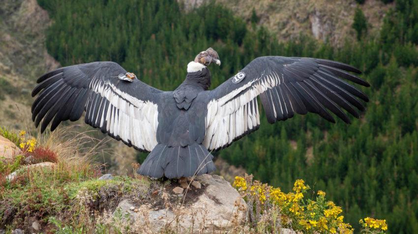 Iguiñaro, un espécimen de cóndor andino, fue liberado la mañana del 30 de mayo de 2020 luego de un mes de recuperación tras haber sido herido con perdigones.