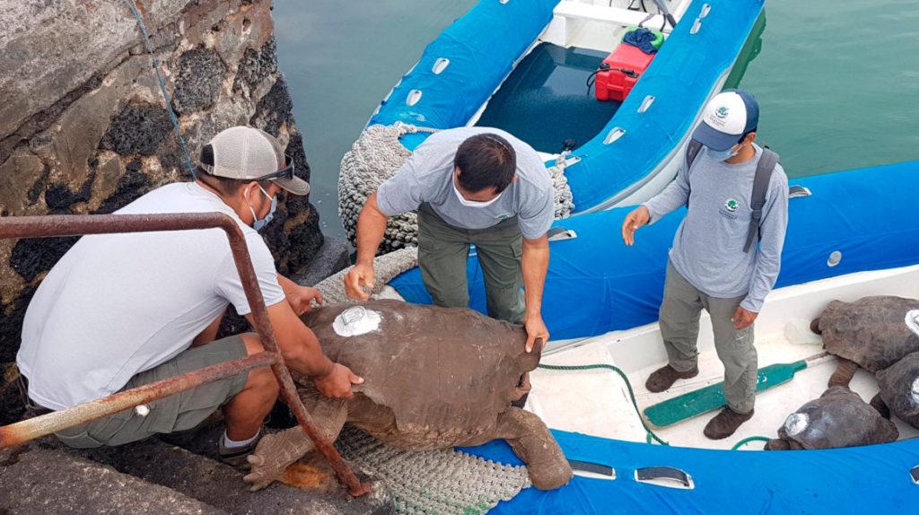 Diego, la tortuga inseminadora de Galápagos, vuelve a casa