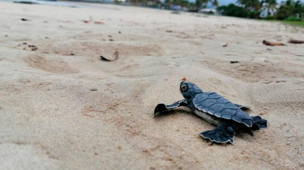 Tortugas marinas en peligro de extinción regresan al océano en Galápagos