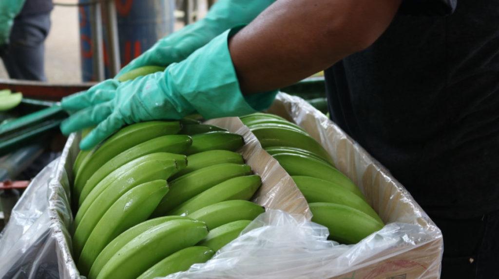 Bananeros gastan USD 200 por contenedor en controles antinarcóticos
