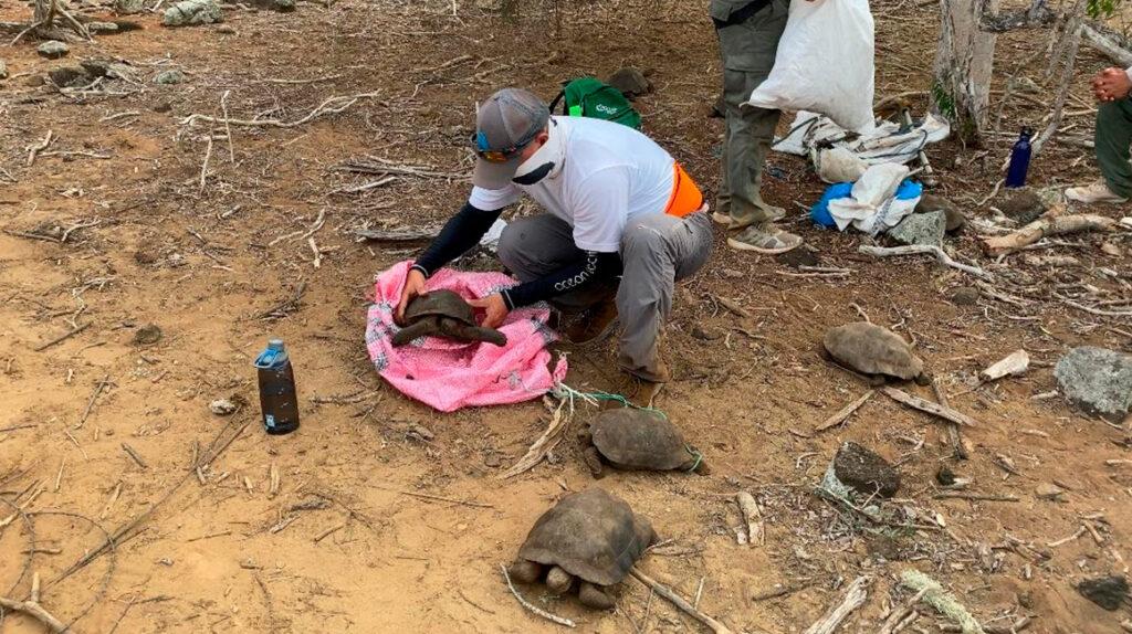 36 tortugas de San Cristóbal regresan a su hábitat en Galápagos