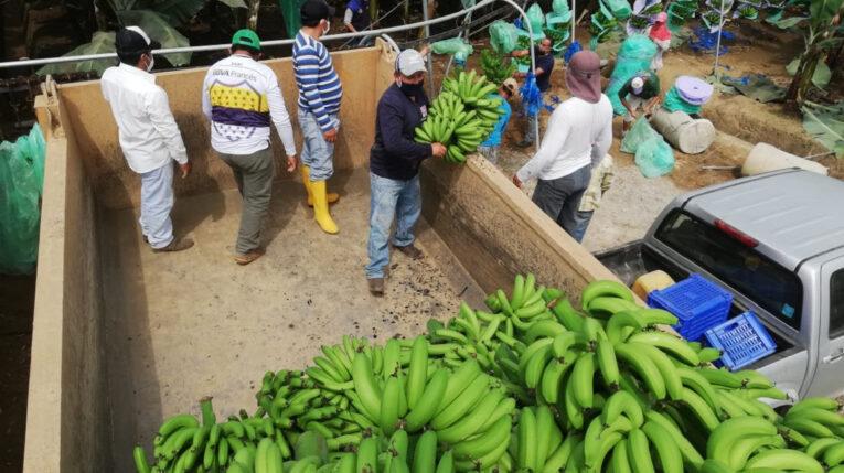 Descarga de banano de una finca en Guayas, el 22 de septiembre de 2020.