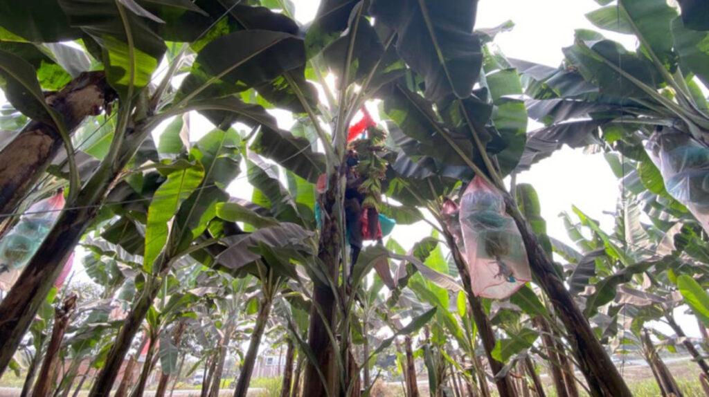 Bananeros combaten al Fusarium con prevención y disciplina