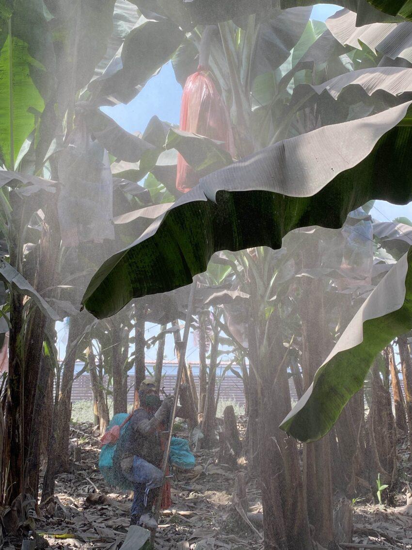 Productor de banano limpia la ceniza de las plantaciones en la parroquia Simón Bolívar, Guayas. Foto tomada el 22 de septiembre de 2020