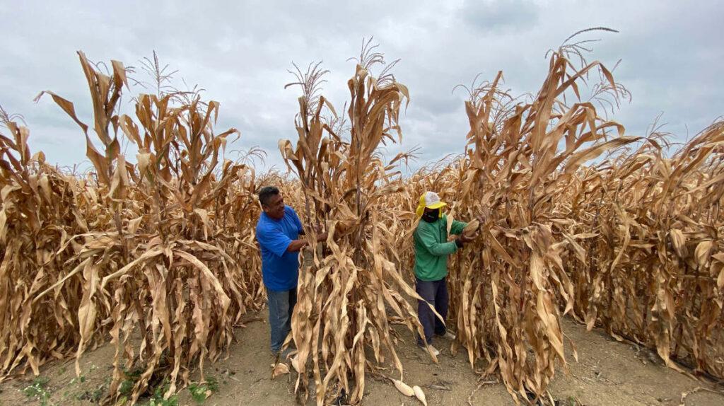 El alto precio de maíz complica a la cadena agroalimentaria