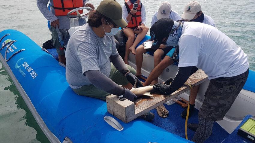 Personal del Parque Nacional Galápagos coloca un dispositivo de rastreo a un tiburón juvenil, el 20 de febrero de 2021.