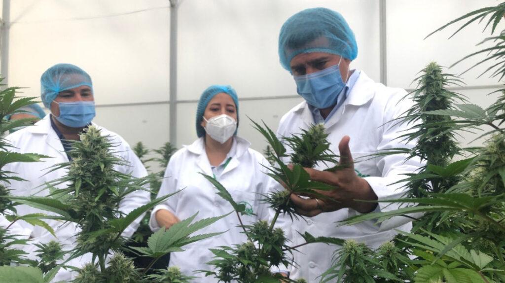 Arcsa anuncia reglas para productos con cannabis no psicoactivo