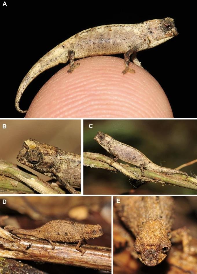 Ejemplar del camaleón de la especie 'Brookesia nana'.