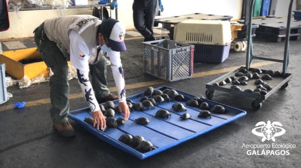 Galápagos: detectan una maleta en el aeropuerto con 185 tortugas bebés