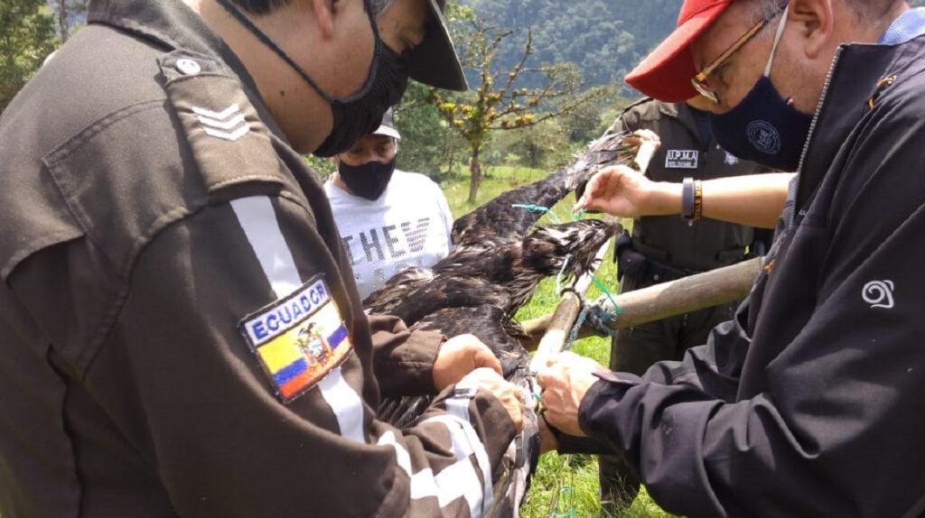 Ministerio del Ambiente investiga muerte de águila andina en Napo
