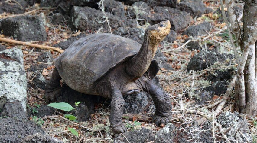 Fotografía sin fecha cedida por la Dirección del Parque Nacional Galápagos (PNG), de la tortuga Chelonisis phantasticus.