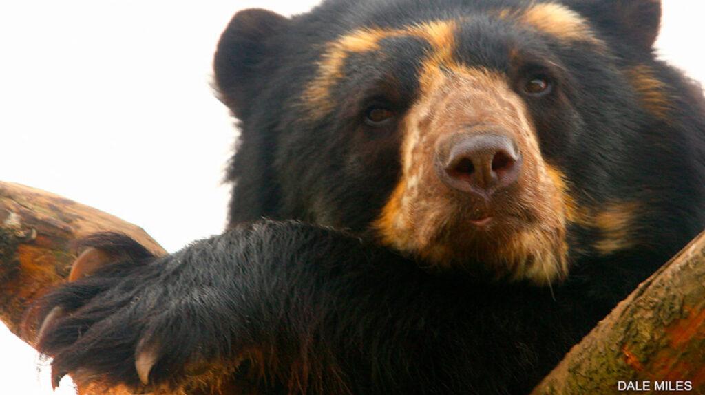 El oso de anteojos: los sembríos de maíz amenazan el hábitat de esta especie