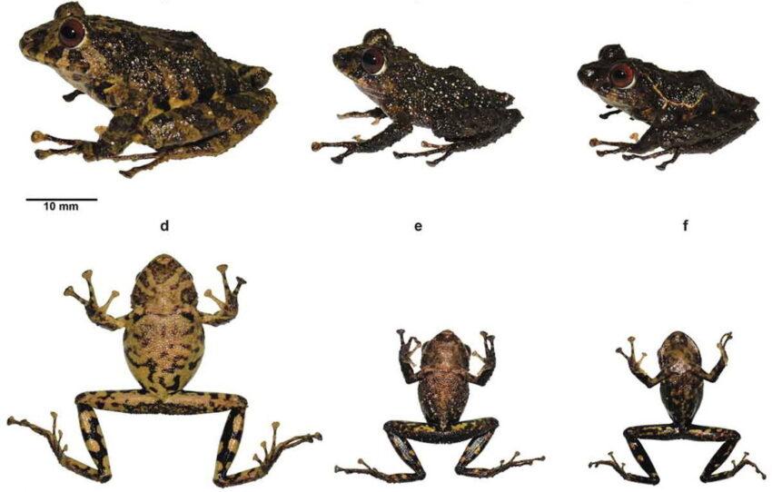 Pristimantis ledzeppelin, nueva especie de rana descrita en Ecuador.