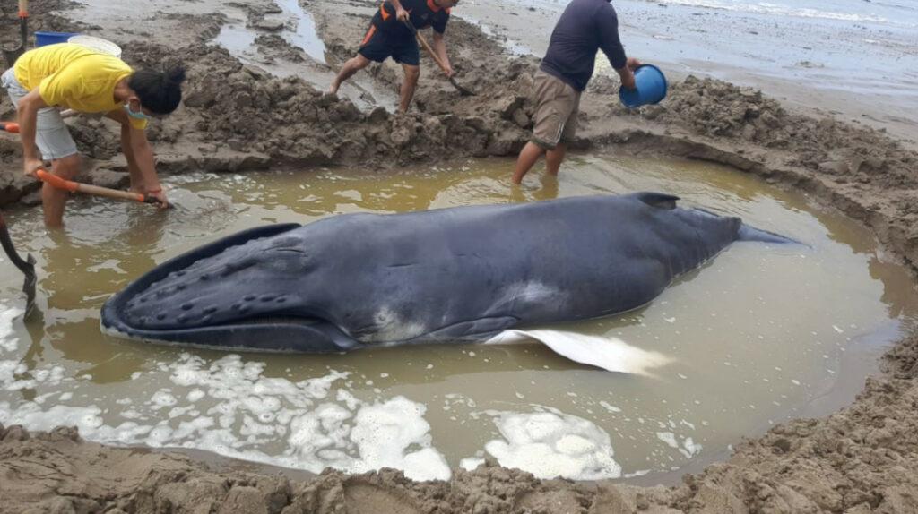 Ballena varada en Anconcito regresó al mar, gracias a los rescatistas