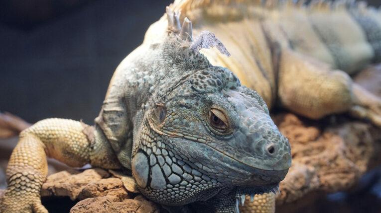 Imagen ilustrativa de una iguana de Guayas.