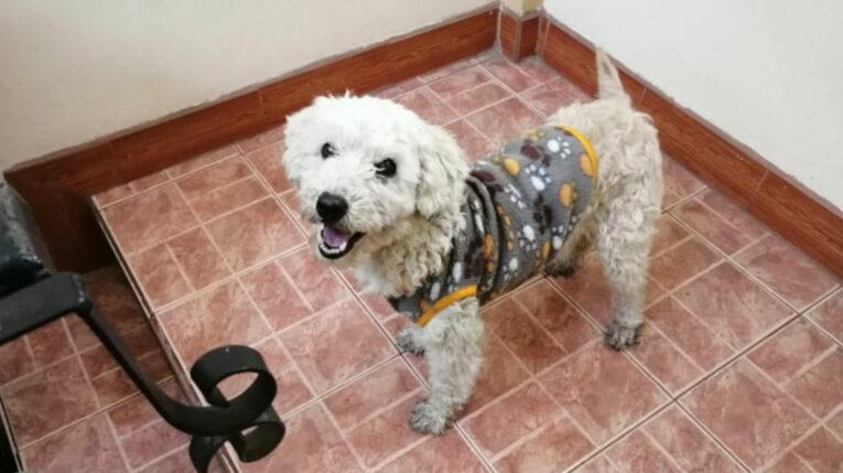 Algodoncito Teo, perro que será emblema de campañas para adopción de perros.