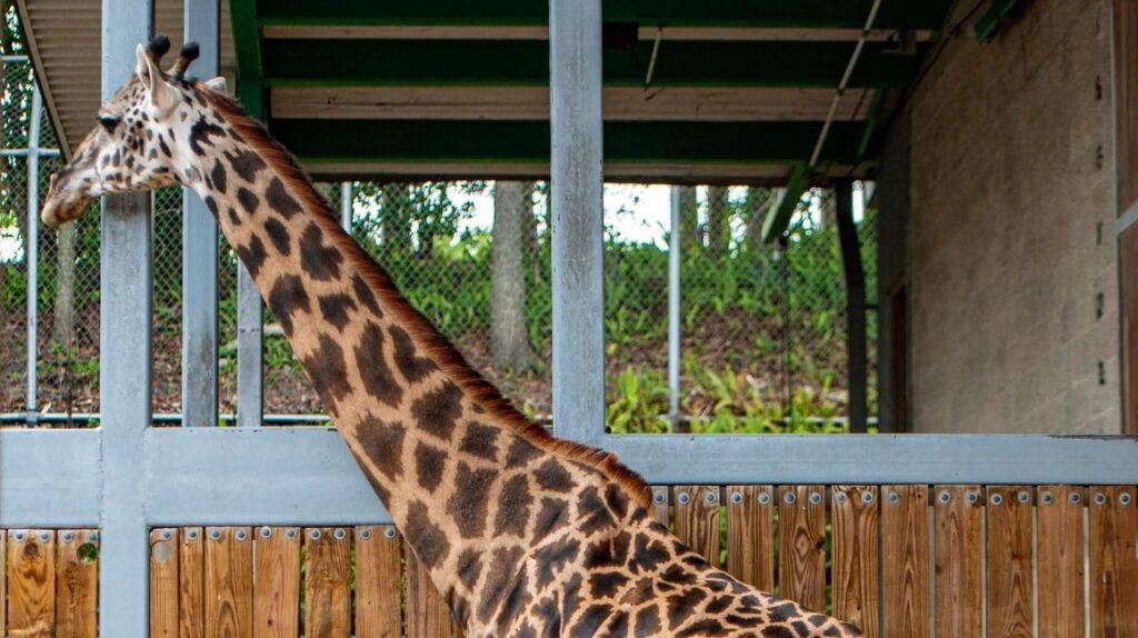 Misteriosa muerte de jirafa en el zoológico de Loja