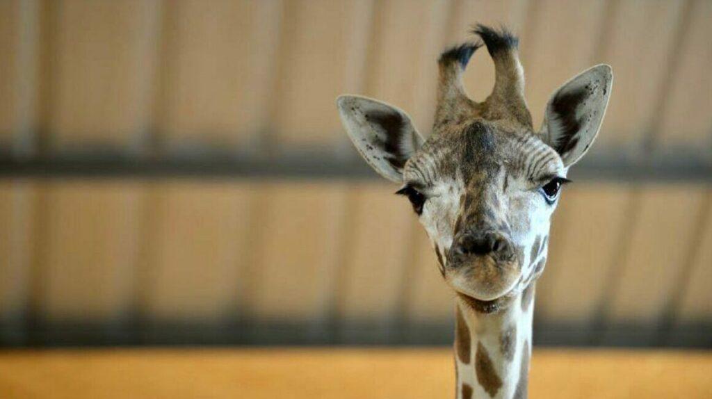 Muere la segunda jirafa del zoológico de Loja