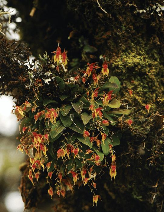 Orquídea Lepanthes oro-lojaensis, nueva especie descrita en Ecuador.