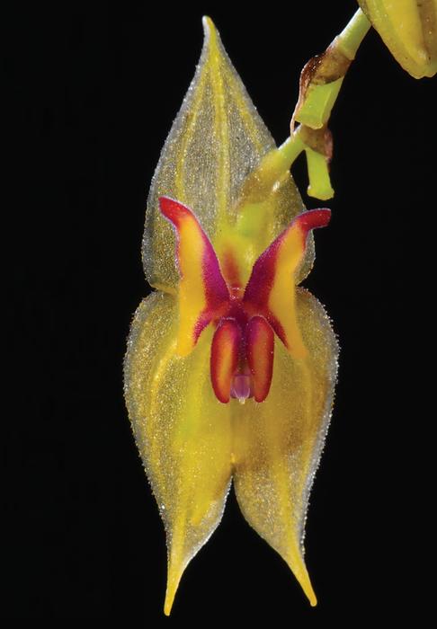 Lepanthes microprosartima, nueva especie de orquídea de Ecuador.