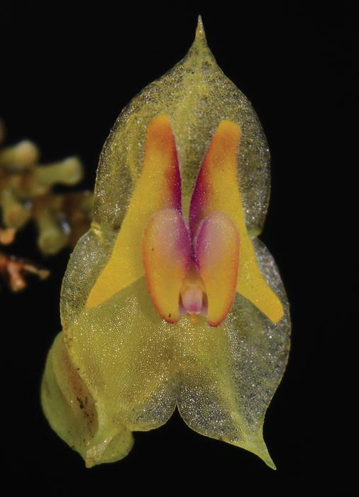 Lepanthes caranqui, una nueva especie de orquídea de Ecuador.
