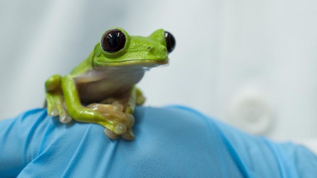 En Ecuador se estudia el potencial médico de la secreción de los anfibios