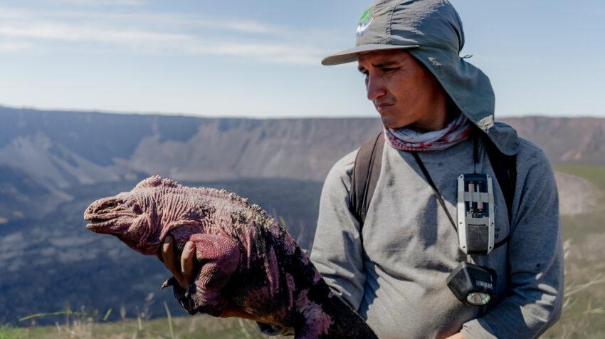 Investigador sostiene una iguana Rosada en el volcán Wolf.