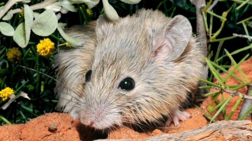 Ratón australiano considerado extinto hace 150 años.