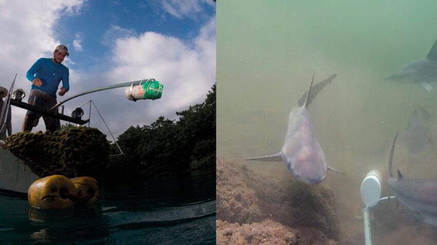 Los científicos usaron cámaras remotas en estéreo (s-BRUVS) por primera vez en los manglares de las Galápagos para evaluar la abundancia y la diversidad de la comunidad de peces.