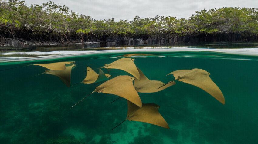 Rayas doradas en manglar de Galápagos.
