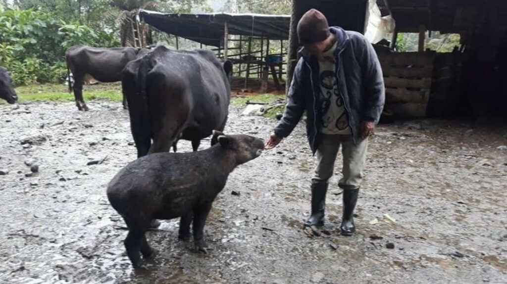 La historia del tapir y la vaca cautiva a las redes sociales