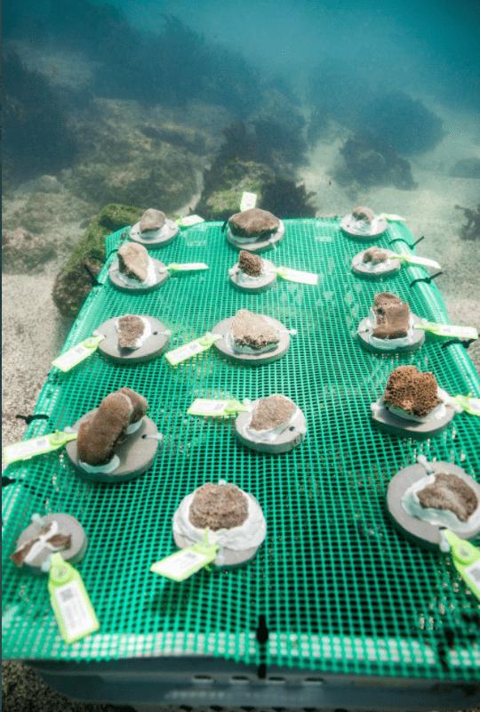 Vivero de corales en la isla Santa Cruz