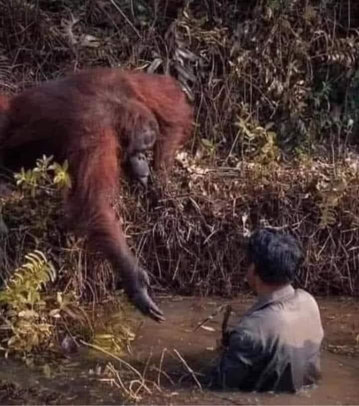 Fotografía de Anil Prabhakar en los bosques de Indonesia: la imagen registra el instante en que un orangután se acerca a rescatar a un geólogo de un charco de barro .