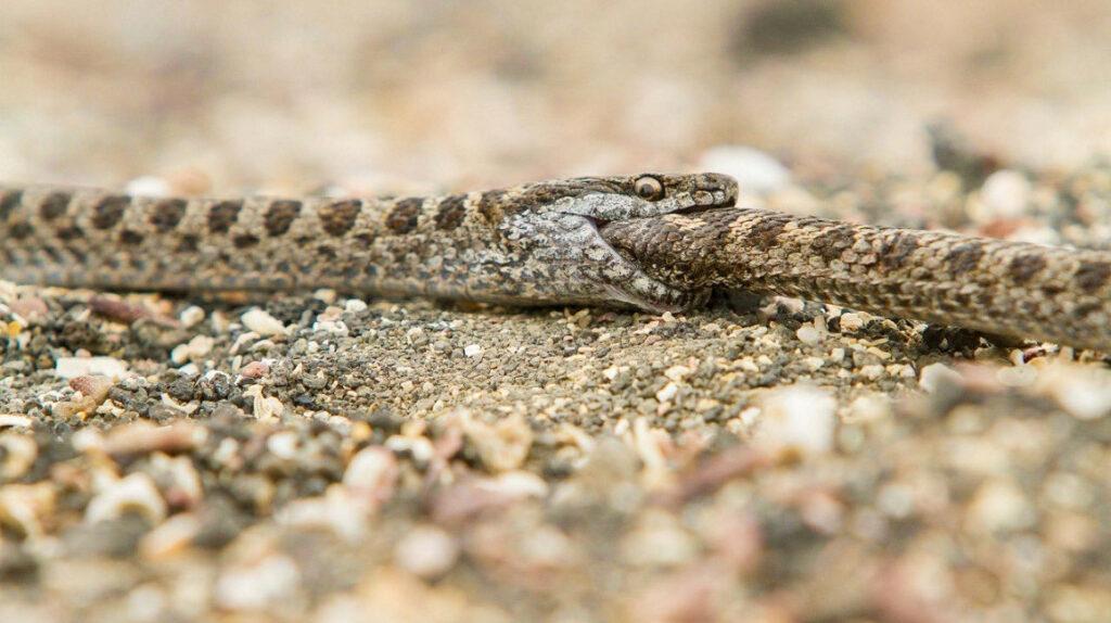 Serpientes de las islas Galápagos tienen un comportamiento caníbal