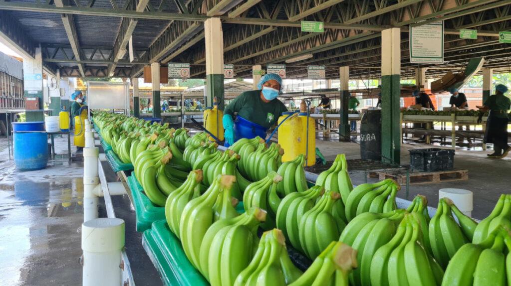 Seis factores encarecen las exportaciones de banano de Ecuador